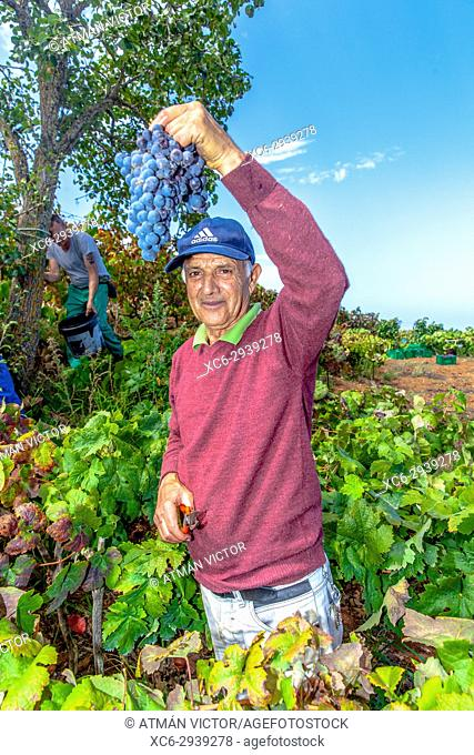 Mature landworker showing a cluster of black grapes during the grape harvest season in Tenerife island
