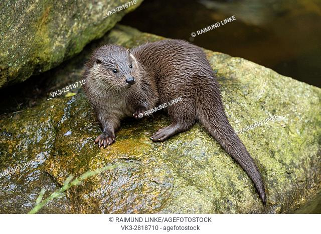 Otter, lutra lutra, Young otter, Bavaria, Germany, Europe
