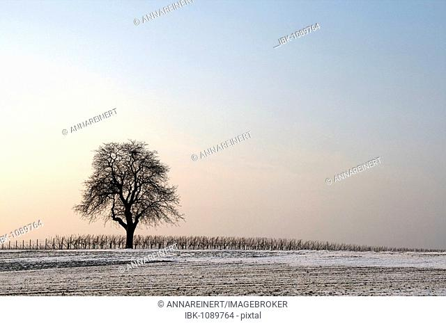 Walnut tree on a winter evening, South Palatinate, Rhineland-Palatinate, Germany, Europe