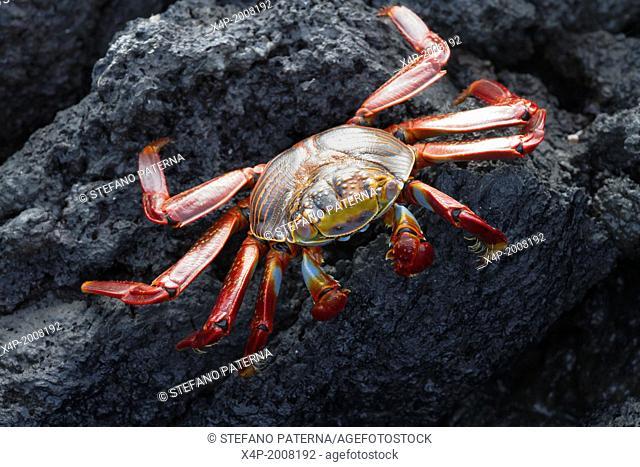 Sally Lightfoot Crab, Grapsus grapsus, Punta Espinoza, Fernandina Island, Galapagos Islands, Ecuador