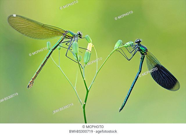 banded blackwings, banded agrion, banded demoiselle (Calopteryx splendens, Agrion splendens), couple on a flower, Germany