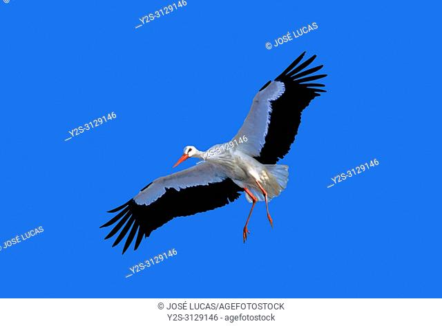 White stork (Ciconia ciconia) in flight. Southern Spain. Europe