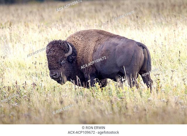 Plains Bison (Bison bison bison), Lake Audy Bison Enclosure, Riding Mountain National Park, Manitoba, Canada