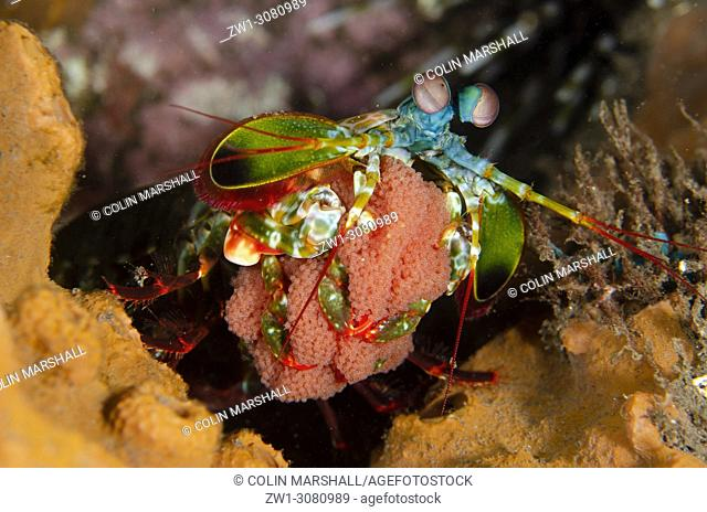 Smashing Mantis Shrimp (Odontodactylus scyllarus, Odontodactylidae family) with clutch of eggs, Melasti dive site, Seraya, near Tulamben, east Bali, Indonesia