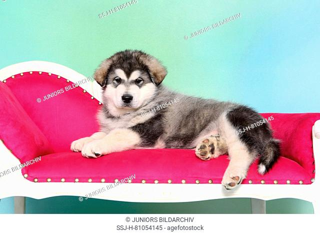 Alaskan Malamute. Puppy (6 weeks old) lying on a chaise longue. Studio picture, seen against a light blue background. Germany