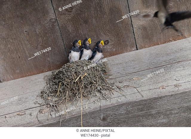 Barn swallows waiting to be fed. Eco farm, Sauerland, Germany