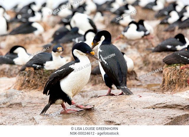 King Cormorant(Phalacrocorax atriceps) walking at colony, Falkland Islands, Sea Lion Island