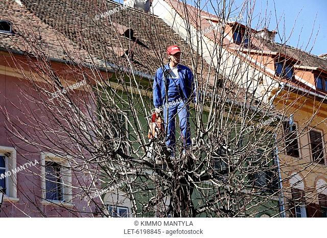 Man cutting branches of a tree in the town of Sighisoara in Transylvania. Romania