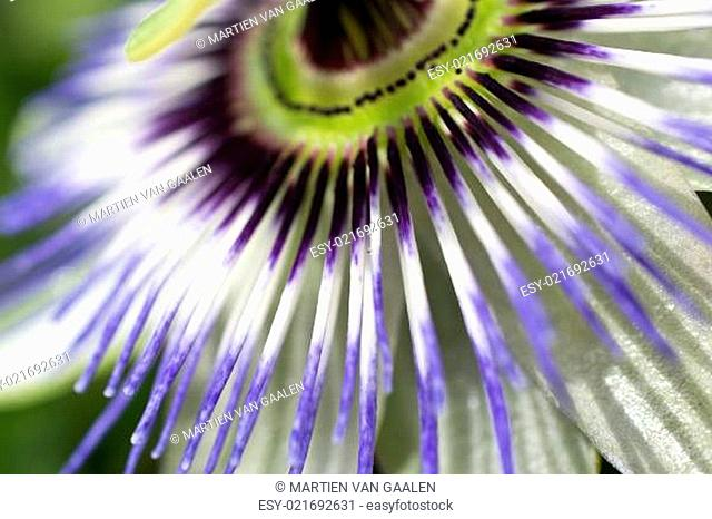 Passiflora in bloom