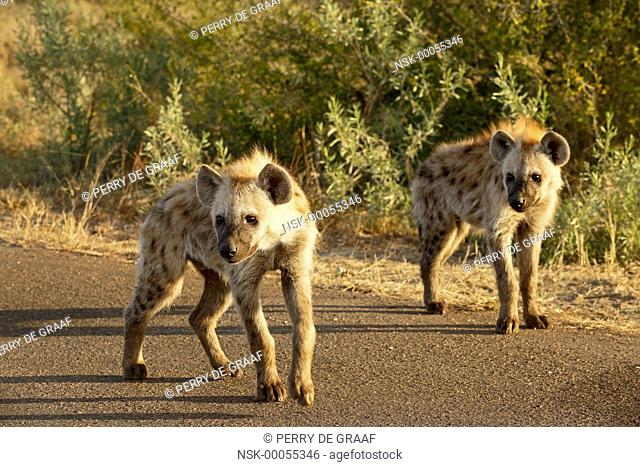 Two Spotted Hyena (Crocuta crocuta) young standing on the road, South Africa, Limpopo, Kruger National Park