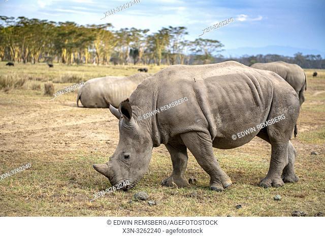 White rhinoceros or square-lipped rhinoceros (Ceratotherium simum)Nakuru National Park, Kenya
