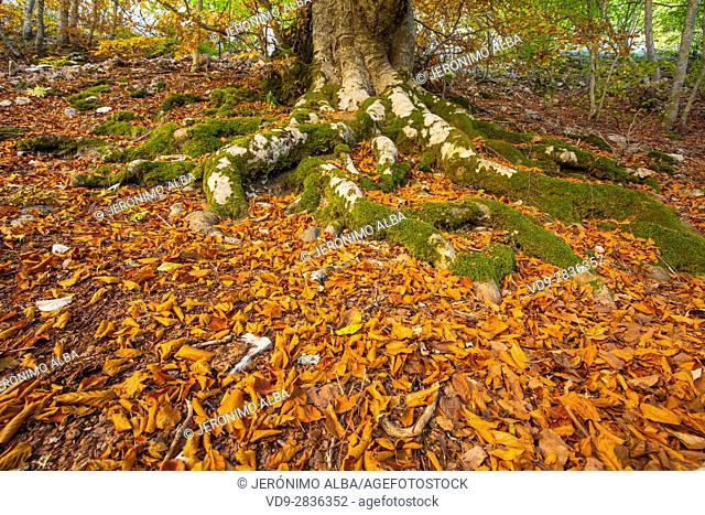 Nature landscape, autumn colors beech forest. Las Merindades County Burgos, Castile and Leon, Spain, Europe
