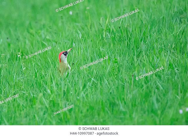 European green woodpecker, Picus viridis