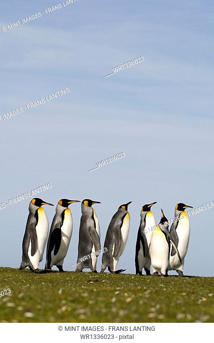 King penguins, Aptenodytes patagonicus lined up in a courting procession or display on the Falkland Islands
