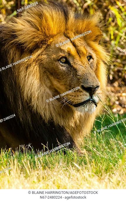 Male lion, Lion Park, near Johannesburg, South Africa