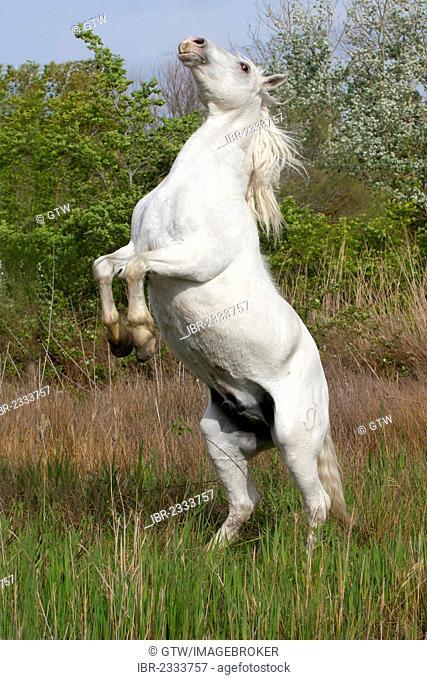 Camargue horse, stallion, rising on his rear legs, Bouches du Rhône, France, Europe