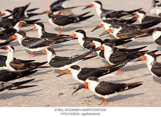 Black Skimmers - Pompano Beach, Florida USA