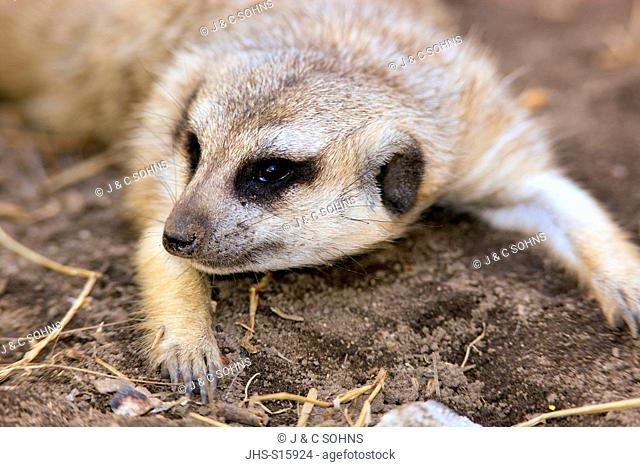 Suricate, (Suricata suricatta), adult portrait, Little Karoo, Western Cape, South Africa, Africa
