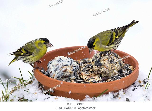 spruce siskin (Carduelis spinus), two males on a dish with handmade bird feed, Germany