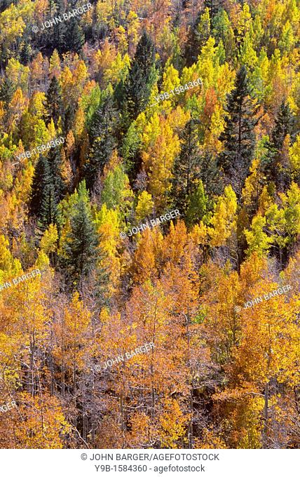 Autumn colored aspen and conifer forest, Lime Creek Valley, San Juan National Forest, southwest Colorado, USA