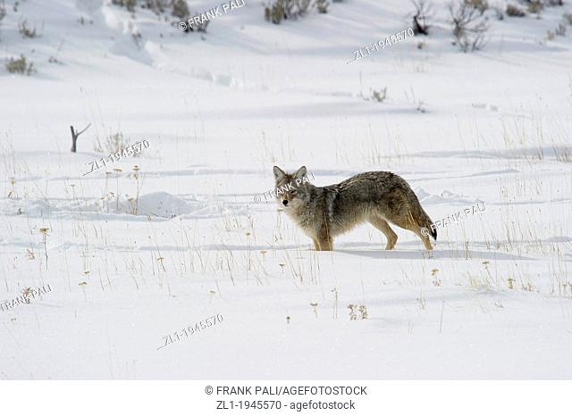 Coyote Canis latrans hunting along roadside at Yellowstone National Park, Mammoth Hot Springs, Wyoming, USA