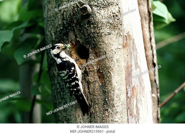 Lesser Spotted Woodpecker, Sweden