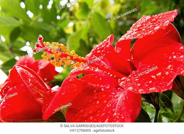 Red hibiscus flower with drops of water after rain