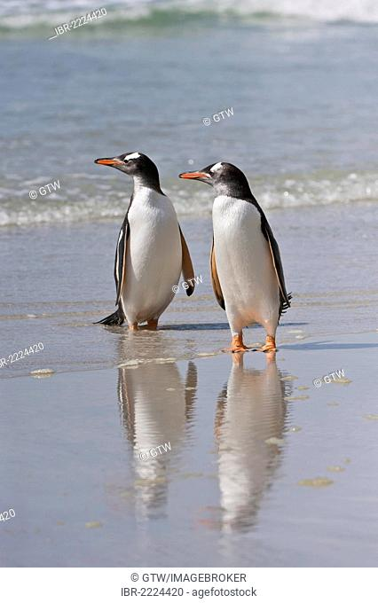 Two Gentoo penguins (Pygoscelis papua) walking on the beach, Saunders Island, Falkland Islands, South America