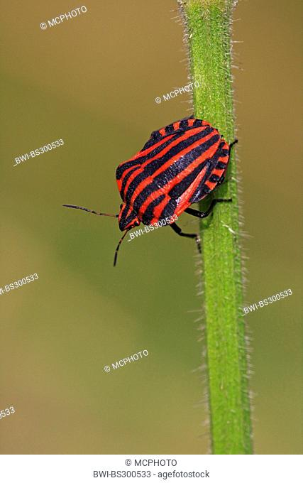 Graphosoma lineatum, Italian Striped-Bug, Minstrel Bug (Graphosoma lineatum, Graphosoma italicum), sitting at a plant stem, Germany, Baden-Wuerttemberg