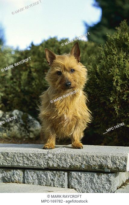 Australian Terrier Canis familiaris, portrait