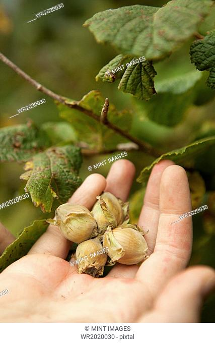Close up of a hand full of fresh hazelnuts gathered from the hedgerow