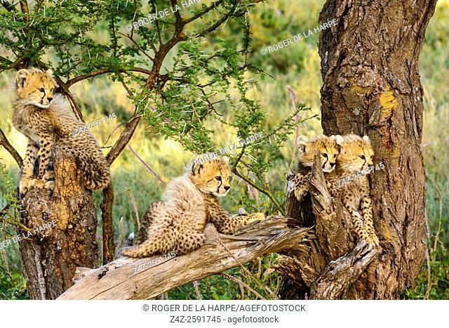 Cheetah (Acinonyx jubatus) cubs in tree. Ngorongoro Conservation Area (NCA). Tanzania