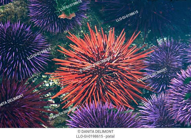 Tide pool with sea urchins, Olympic Peninsula, Washington, USA