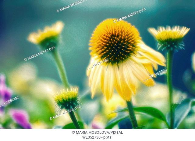 Yellow Coneflowers. Echinacea paradoxa. July 2006. Maryland, USA