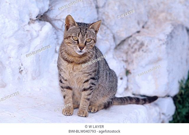 domestic cat Felis silvestris f. catus, tabby cat sitting on stone, Greece, Santorin