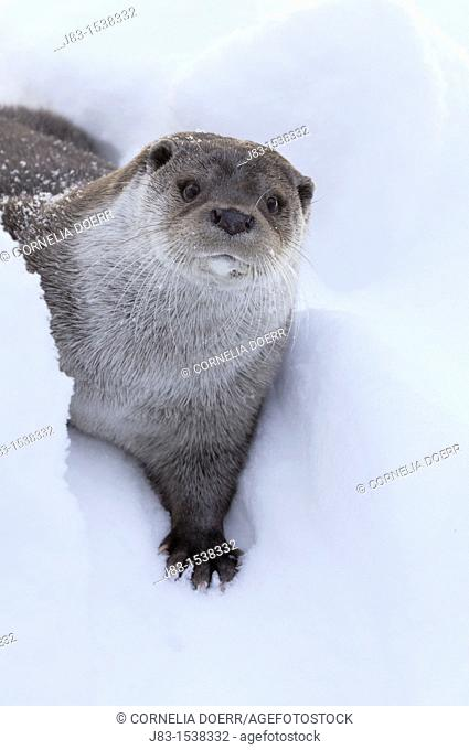 European Otter Lutra lutra in snow, Bavaria, Germany