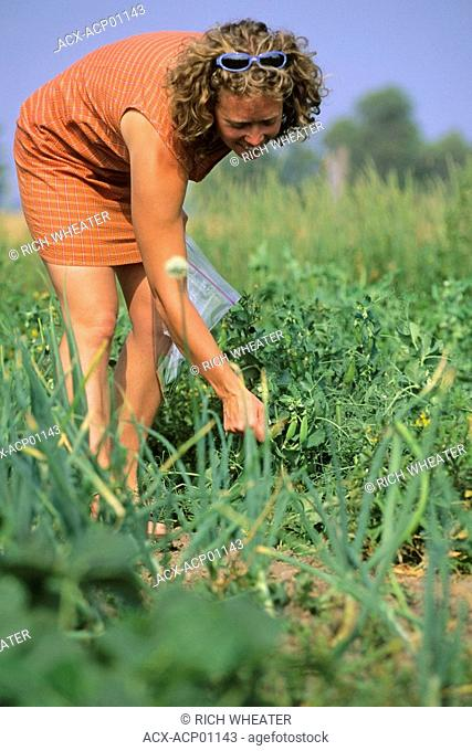 A woman collecting vegetables from garden on Manitoulin Island, Ontario, Canada
