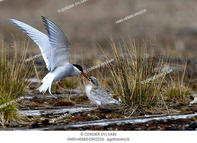Norway, Svalbard, Spitsbergen, Arctic Tern (Sterna paradisaea), one adult is feeding a young one