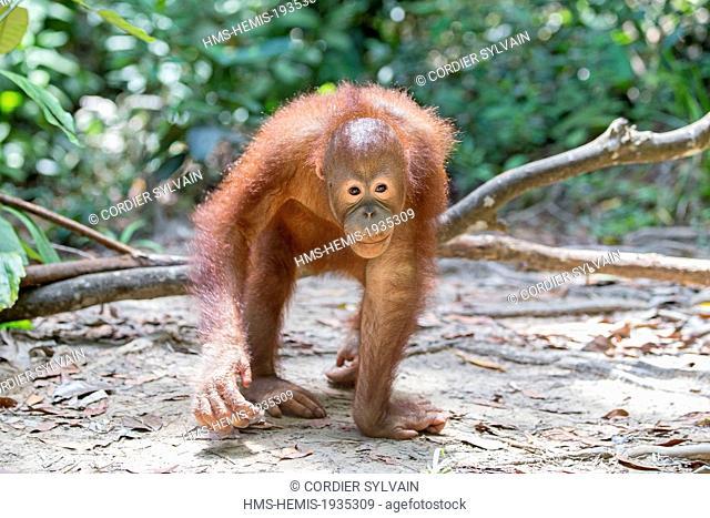 Malaysia, Sabah state, Sandakan, Sepilok Orang Utan Rehabilitation Center, Northeast Bornean orangutan (Pongo pygmaeus morio), young
