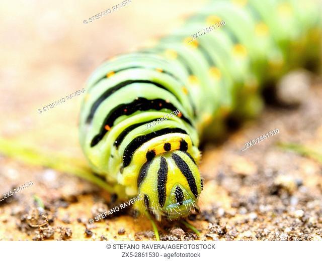 Swallowtail butterfly (Papilio machaon) larva - Orvieto, Italy