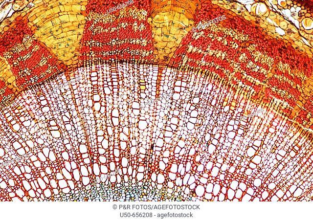 Tilia (cross section), Malvaceae, 3 year growth, 100 X  optical microscope, photomicrography , plant anatomy , botany
