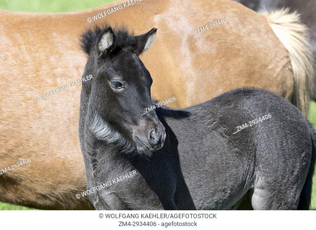 Portrait of an Icelandic horse foal on a pasture near Akureyri, northern Iceland