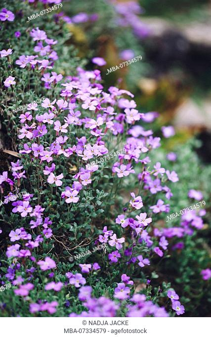 Delicate purple blooming Aubretia in the botanical garden in spring