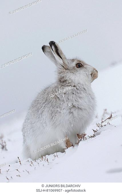 Mountain Hare (Lepus timidus). Adult in white winter coat (pelage) in snow. Cairngorms National Park, Scotland