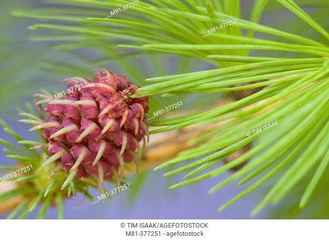 Immature Scots Pine (Pinus sylvestris) seed cones and needles near River Doll, Glendoll forest. Angus, Scotland