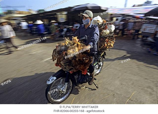 Vietnam - Transporting live chickens by motorcycle in Long Bien Market, Hanoi - Suffered outbreaks of Avian flu in 2004-2005