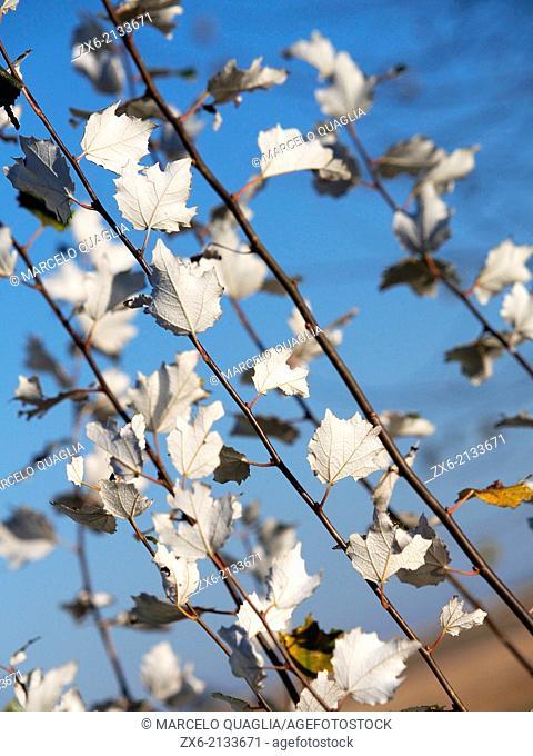 White poplar tree branches (Populus alba). Ebro River Delta Natural Park, Tarragona province, Catalonia, Spain