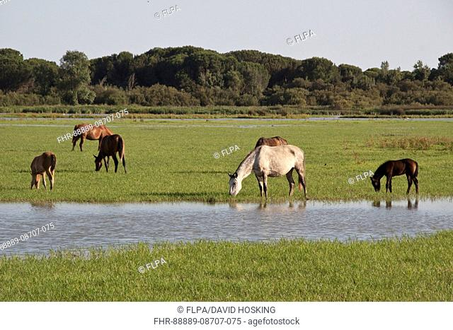 Wild Andalusian horse rome the marshes at El Rocio