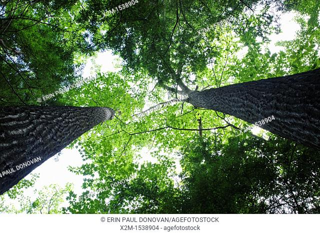 Canopy of mature northern red oak trees in a hemlock - oak- northern hardwood forest community during the summer months in the area of the Deer Brook drainage...