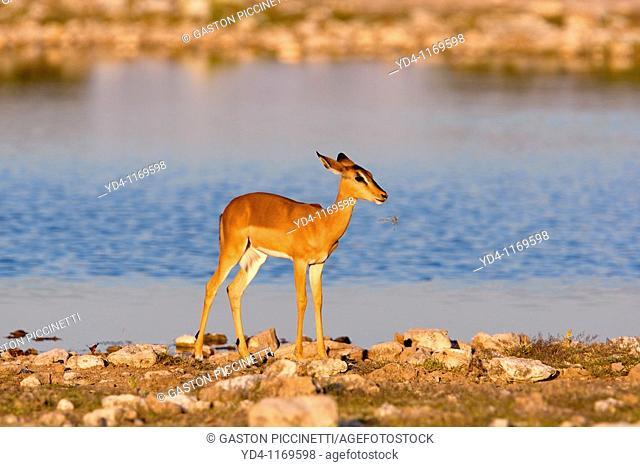 Black-faced impala Aepyceros melampus petersi - Young, in the waterhole, Etosha National Park, Namibia